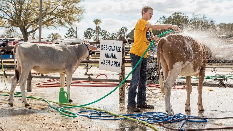 A young boy washing a cow.