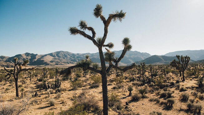 A Joshua tree in a vast expanse of desert.